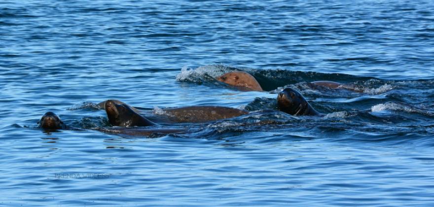 Otters playing in Alberni Inlet - Wildlife in Port Alberni