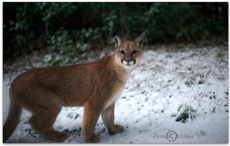 Cougar - Wildlife in Port Alberni